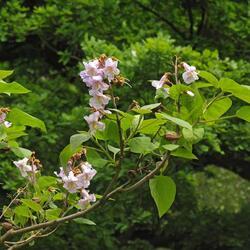 Paulovnie plstnatá - Paulownia tomentosa