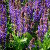 Šalvěj nádherná 'April Night' - Salvia superba 'April Night'