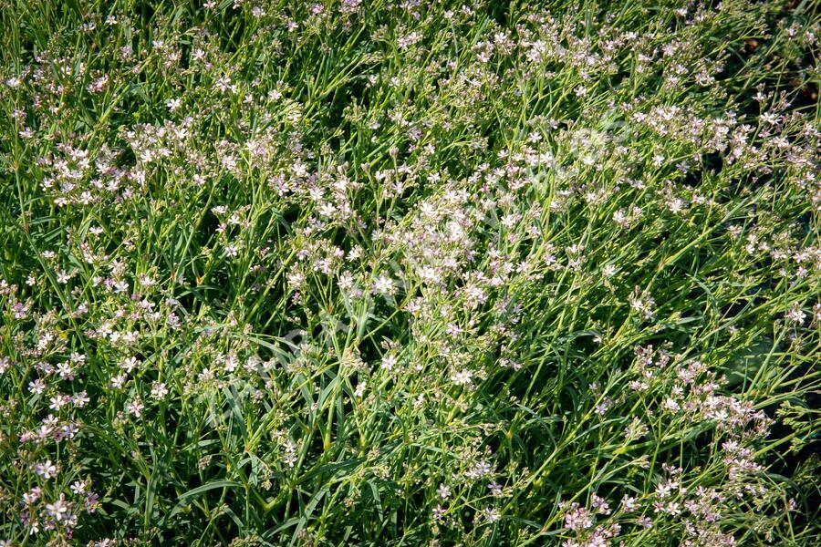 Šater latnatý 'Festival Pink Splash' - Gypsophila paniculata 'Festival Pink Splash'