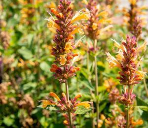 Agastache 'Kudos Gold' - Agastache hybrida 'Kudos Gold'