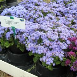 Nestařec americký 'Basso Blue' - Ageratum houstonianum 'Basso Blue'