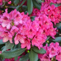 Pěnišník 'Nova Zembla' - Rhododendron (T) 'Nova Zembla'