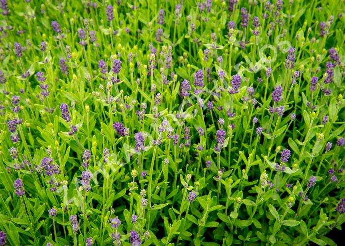 Levandule úzkolistá 'Blue Scent Imp.' - Lavandula angustifolia 'Blue Scent Imp.'