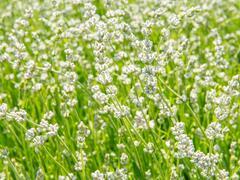 Levandule úzkolistá 'Aromatico Silver' - Lavandula angustifolia 'Aromatico Silver'