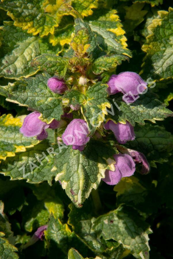 Hluchavka skvrnitá 'Golden Anniversary' - Lamium maculatum 'Golden Anniversary'