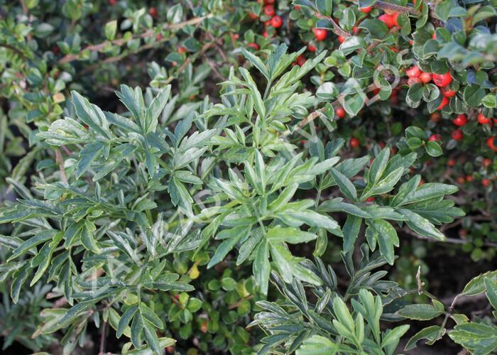 Bez černý 'Laciniata' - Sambucus nigra 'Laciniata'