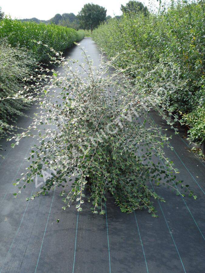 Skalník Franchetův - Cotoneaster franchetii