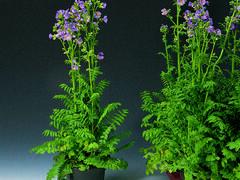 Jirnice - Polemonium caeruleum
