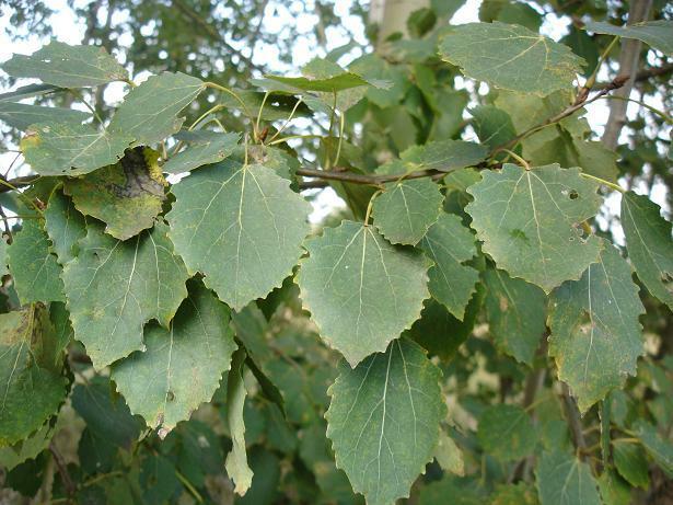 Topol osika - Populus tremula