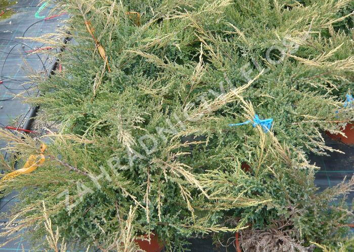 Jalovec prostřední 'Gold Star' - Juniperus media 'Gold Star'