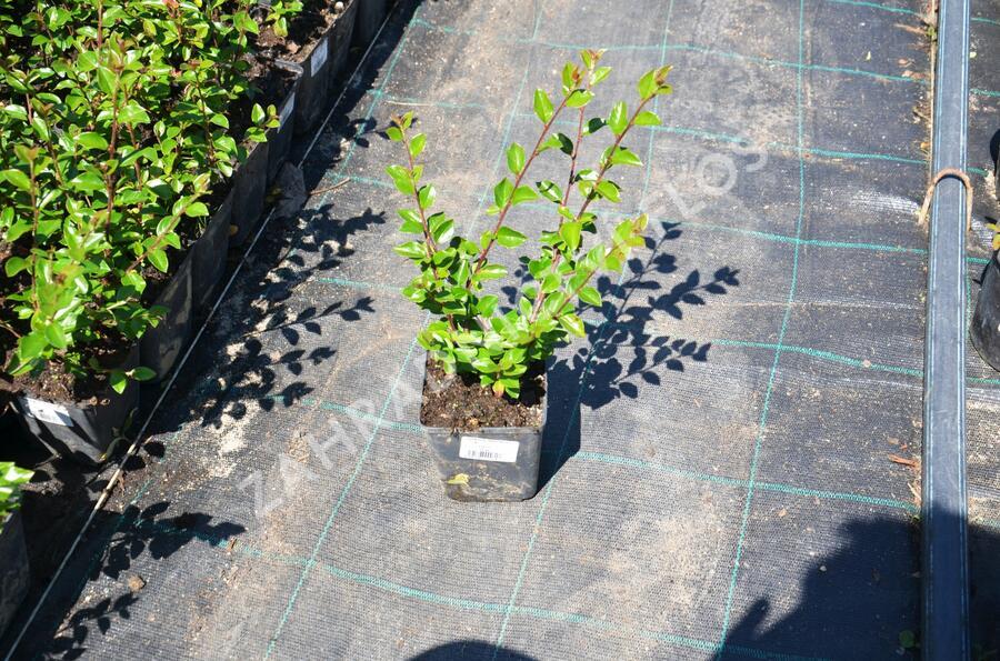 Skalník rozkladitý - Cotoneaster divaricatus