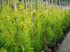 Zerav západní 'Yellow Ribbon' - Thuja occidentalis 'Yellow Ribbon'