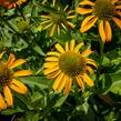 Třapatka nachová 'Skipper Orange' - Echinacea purpurea 'Skipper Orange'