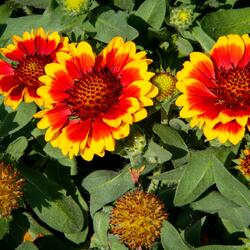 Kokarda osinatá 'Barbican Yellow Red Ring' - Gaillardia aristata 'Barbican Yellow Red Ring'