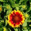 Kokarda osinatá 'Barbican Yellow Red Ring' - Gaillardia aristata 'Barbican Yellow Red Ring'