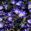 Zvonek 'Beyond Blue' - Campanula interspecific 'Beyond Blue'
