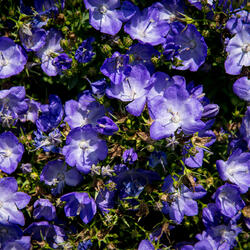 Zvonek 'Beyond Blue' - Campanula interspecific 'Beyond Blue'