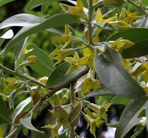 Hlošina stříbrná - Elaeagnus commutata