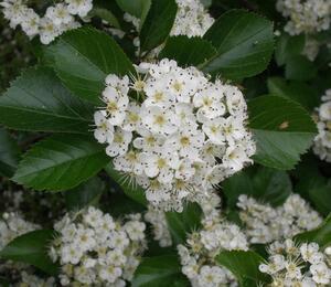 Hloh slívolistý - Crataegus prunifolia