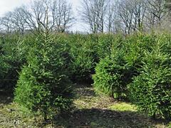 Smrk ztepilý - Picea abies