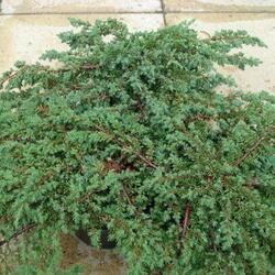 Jalovec polehlý 'Prostrata' - Juniperus horizontalis 'Prostrata'