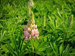 Lupina 'Lupini Pink Shades' - Lupinus polyphyllus 'Lupini Pink Shades'