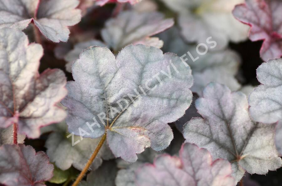 Dlužicha 'Cinnabar Silver' - Heuchera hybrida 'Cinnabar Silver'