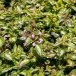 Hluchavka skvrnitá 'Gold Crown' - Lamium maculatum 'Gold Crown'