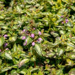Hluchavka skvrnitá 'Gold Crown' - Lamium maculatum 'Gold Crown'
