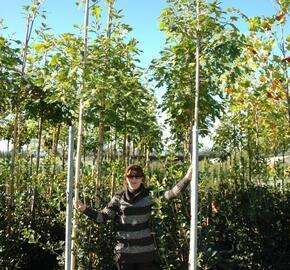Dub červený - Quercus rubra