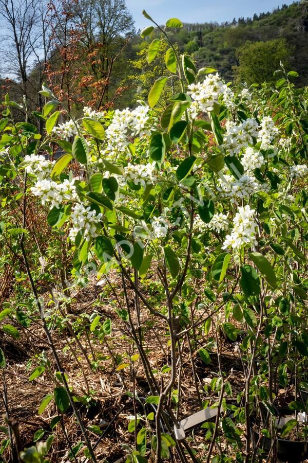 Muchovník klasnatý - Amelanchier spicata