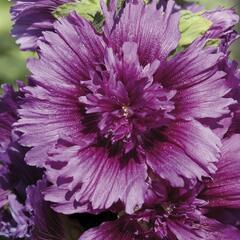 Topolovka růžová 'Spring Celebrities Purple' - Alcea rosea 'Spring Celebrities Purple'
