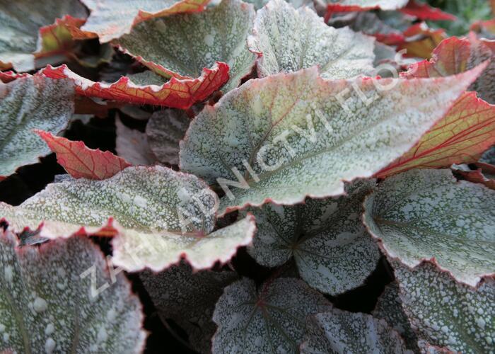 Begónie královská 'Rex Bealeaf Yukon Frost' - Begonia hybrida 'Rex Bealeaf Yukon Frost'