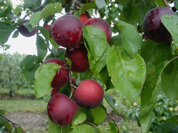Třešeň x meruňka 'Aprikyra' - Prunus 'Aprikyra'