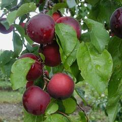 Myrobelán 'Aprikyra' - Prunus 'Aprikyra'