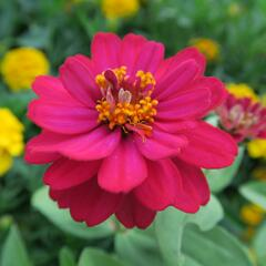 Ostálka 'Double Hot Cherry' - Zinnia profusion 'Double Hot Cherry'