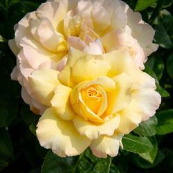 Růže velkokvětá 'Peace' - Rosa VK 'Peace'