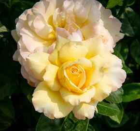 Růže velkokvětá Meilland 'Peace' - Rosa VK 'Peace'