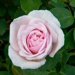 Růže pnoucí Kordes 'Rosanna' - Rosa PN 'Rosanna'