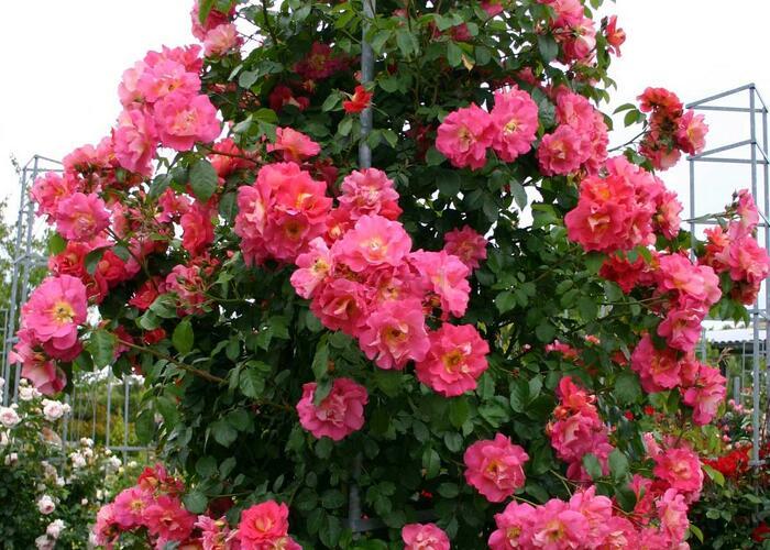 Růže pnoucí Kordes 'Bajazzo' - Rosa PN 'Bajazzo'