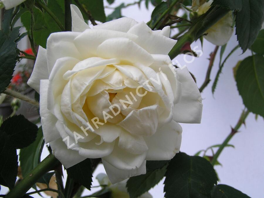 Růže pnoucí Kordes 'Alaska' - Rosa PN 'Alaska'