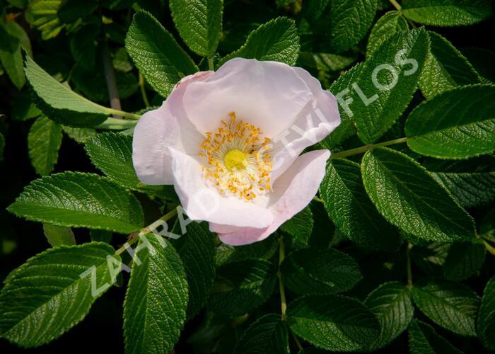 Růže svraskalá 'Alba' - Rosa rugosa 'Alba'