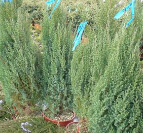 Jalovec čínský 'Stricta' - Juniperus chinensis 'Stricta'