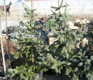 Smrk pichlavý 'Hoopsii' - Picea pungens 'Hoopsii'