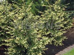 Smrk východní 'Aurea' - Picea orientalis 'Aurea'