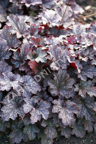 Dlužicha 'Plum Pudding' - Heuchera 'Plum Pudding'