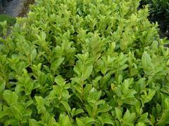 Bobkovišeň lékařská 'Rotundifolia' - Prunus laurocerasus 'Rotundifolia'