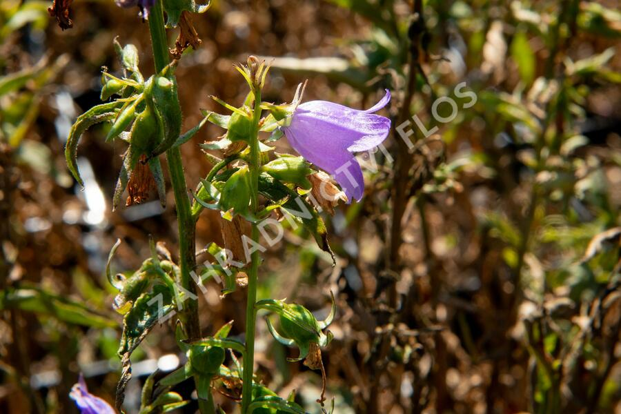 Zvonek řepkovitý 'Cambell Blue' - Campanula rapunculoides 'Cambell Blue'