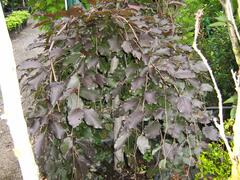 Buk lesní 'Purple Fountain' - Fagus sylvatica 'Purple Fountain'