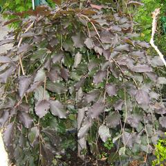 Buk lesní 'Purple Fountain' - Fagus sylvatica 'Purple Fountain'